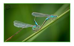 Damselflies Mating (Richard Leah Photography) Tags: macro nature closeup wildlife insects damselfly damselflies sigma105mm nikond800