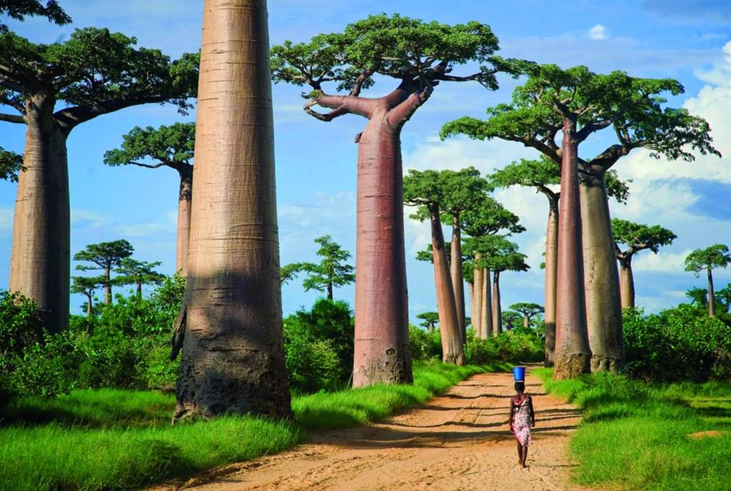 Bao báp Madagascar
