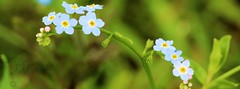 tufted forget-me-not (Myosotis laxa) (Klaus  infrequently online ) Tags: flowers flores fleurs bloesems blossoms blumen forgetmenot bunga fiori  blommor bungabunga bloemen blomster kwiaty hoa blten   blm iek myosotis    kukkia cvijee  blommar iekleri  myosotislaxa   roe tuftedforgetmenot  blthanna cvjetovi kukkii  cvetovi blma   rasenvergissmeinnicht sumpfrgtmigej