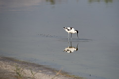 _DSC8512 (Carmen Coronado) Tags: naturaleza valencia fauna pjaros albufera sigma150500f563apodgos nikond750