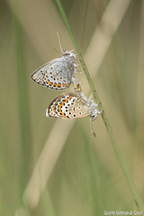 DN9A2890 (Josette Veltman) Tags: macro canon butterfly insect natuur bugs argus vlinder canon100mmmacro natuurmonumenten plebejusargus plebejus canon100mm28 macrofotografie heideblauwtjeheideblauwtjedopheide