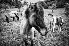 Pferdeportrt (bernd.stenger1602) Tags: wiese pferd herde