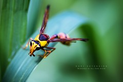 Red back mud wasp (Dari_Extension) Tags: nature insect closup naturephotography insectgraphy