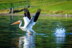 Pelican on the Columbia in Richland (trail66td) Tags: bird birds pelican washingtonstate richland easternwashington