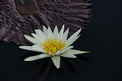 Longwood Gardens -33 (Webtraverser) Tags: gardens waterlily waterlilies longwoodgardens magichour sunsetting d7000