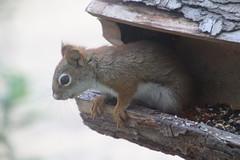 Red Squirrel at the Birdfeeders (Saline, Michigan) - June 26, 2016 (cseeman) Tags: squirrel michigan birdfeeder feeder perch hungry saline redsquirrel squirrelfeeder redsquirrel06262016