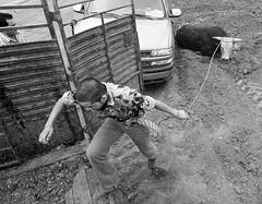 072504-sm-loose-bull-3 (Al Cerv) Tags: nobull bull rodeo salinas shotgun ragingbull ahibieneeltoro