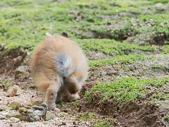 B6250719 (VANILLASKY0607) Tags: rabbit bunny bunnies nature animal japan photo wildlife wildanimal hydrangea rabbits rabbitisland wildrabbit okunoshima