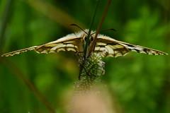 DSC05847 - Marbled White (steve R J) Tags: white butterfly downs british marble essex benfleet