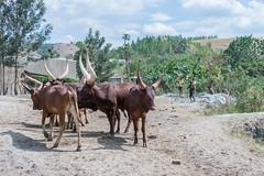 Travelling around Uganda (Ankole cow) (MadGrin) Tags: africa orientale uganda repubblica travel viaggio westernregion uga
