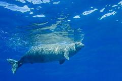 monkseal5Jun22-16 (divindk) Tags: hawaii hawaiianislands kauai lehuacrater neomonachusschauinslandi niihau underwater blueocean cute diverdoug endangeredspecies hawaiianmonkseal lazy marine marinemammal monkseal ocean sea seal underwaterphotography whiskers