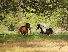Letting Loose and Head to Head (Jenny's site) Tags: donovan cav morganhorses gypsyhorses jennifersphotography jennygrimm cavanddonovan