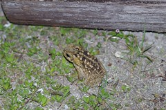 Megatoad (Kurt Anderson Photos) Tags: florida wildlife toads swamps frogs