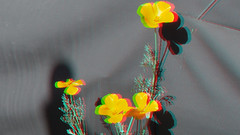 California Poppy in 3D (Seor Danimal) Tags: california 3d olympus poppy californiapoppy omd em5 lumixg125mmf123d