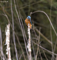 Kingfisher on reeds (TC922) Tags: bird nature nikon 300mm kingfisher teleconverter d4 rspb alcedoatthis ryemeads