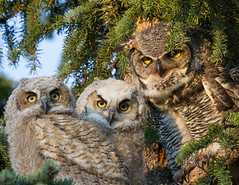 Family Portrait (WildElements.ca) Tags: calgary great owl chicks photocontesttnc13
