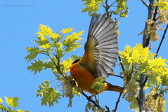 Baltimore Oriole taking flight (Sandra_Gilchrist) Tags: ontario bird birds woods whitby baltimoreoriole oriole thicksonwoods whitbyon thickson sandragilchrist