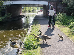 Heavy Traffic (Brian Negus) Tags: bridge family england bike bicycle canal geese spring cyclist unitedkingdom goose gosling canadagoose towpath westbromwich oldbury blindphotographers