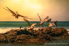 In the Footsteps of the Pterodactyls (fesign) Tags: ocean birds rock coast fly costarica flight alcatraz brownpelican centralamerica guanacaste pelecanusoccidentalis buchon pelicanopardo magicunicornmasterpiece