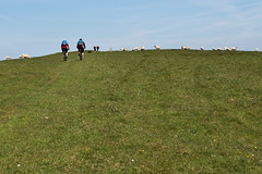 Busy on the top (jeroenf) Tags: england bike sheep hill eastsussex southdowns