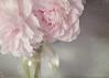 their fragance (silviaON) Tags: flower july peony vase textured oa 2013 memoriesbook floralessence kimklassentextures itsallaboutflowers isabellafranceaction