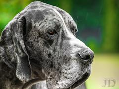 Deutsche Dogge 82kg (Jan Dierkes) Tags: dog pet nature friend natur hund soul feeling haustier freund haustiere gefhl photografie deutschedogge grautiger jandierkes