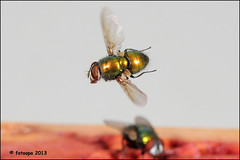 R40_5106 (fotoopa) Tags: macro inflight objects insects thuis highspeed ringflash flyinginsects highspeedflash insectsinflight strobic highspeedcapture highspeedmacro nikond300 fotoopa inflightinsects lasercontrol vliegendeinsecten externalshutter lasercamera ttlflashcontrol flyinghighspeedinsects highspeedlaserdetector