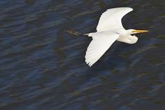 Another lucky shot (Suse2906) Tags: bird flight australia waterbird egret torrensriver