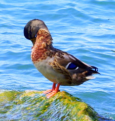 Gernamo reale (Anas platyrhynchos) (Paolo Piccinelli) Tags: bird duck ave pato animale canard oiseaux uccello germano anatra