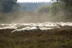 Sheep @ Ermelose Heide (Karsten Wentink) Tags: archaeology bronze sheep heather age heath burial moor mounds heide neolithic barrows pentaxk10d heideveld