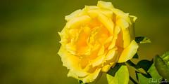 Vainilla (Krrillo) Tags: david flower macro yellow canon eos flor 100mm 7d 28 usm f28 ef carrillo amarilla maro canon usm krrillo