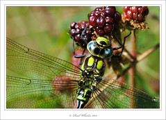 Autumnal Beauty (Paul_Wheeler) Tags: aeshna cyanea male southern hawker dragonfly blackberry bramble insect wings british britain uk wildlife nature blue green dartmoor macro closeup