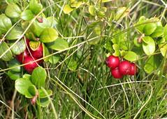 vörös áfonya / lingonberry (debreczeniemoke) Tags: autumn red plant fruit ericaceae transylvania transilvania lingonberry cowberry erdély preiselbeere növény ősz vacciniumvitisidaea grante vörös airellerouge termés rozsály mirtillorosso kronsbeere vörösáfonya fojminc havasimeggy canonpowershotsx20is igniş airellevignedumontida airelleàfruitsrouges hangafélék coacăzdemunte airelleàpommedeterre merișor afinroșu