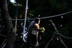 DSC_2207new (marco18678) Tags: monkey nikon apenheul 18105 d7100