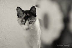I see you (susodediego ) Tags: cat chat gato katze gatto soe blackdiamond autofocus   thegalaxy frameit nikkorafs70200mmf28vr nikond300 gnneniyisi mygearandme ringexcellence rememberthatmomentlevel4 rememberthatmomentlevel1 magicmomentsinyourlife rememberthatmomentlevel2 rememberthatmomentlevel3 vpu2 vpu3 frameitl2 vpul01