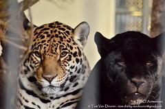 Jaguar - Panthera Onca (MrTDiddy) Tags: female cat mammal zoo big kat feline bigcat antwerp jaguar zo antwerpen zara zooantwerpen grote onca panthera vrouwelijk zoogdier grotekat