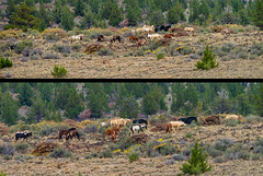Wow! There they are! The Wild horses (GeorgeOfTheGorge) Tags: oregon diptych unitedstates painted wildhorses pinto blm steensmountain