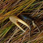 Fiddler crab thumbnail
