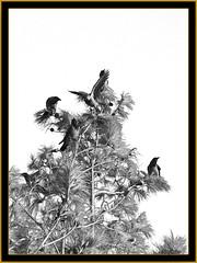 nature birds corbeaux