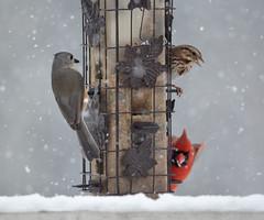 DSC_0846a (infiniteciel) Tags: winter snow bird cardinal sparrow titmouse