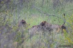 DSC_1514 (Arno Meintjes Wildlife) Tags: africa wallpaper nature southafrica bush wildlife lion safari bigcat predator krugerpark big5 pantheraleo arnomeintjes