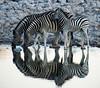 Razzle Dazzle (HBPC) (b4extinction) Tags: reflection zebra etosha