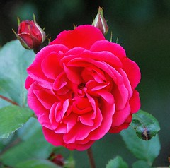 A Beautiful Rose Always Has Her Buddies! (antonychammond) Tags: pink red flower leaves rose garden buddies buds rosepetal rosaceae genusrosa flowerarebeautiful vpu1 rosesforeveryone vpu2 vpu3 vpu4 vpu5 vpu6 vpu7 vpu8 vpu9