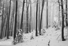 Secret Forest (desomnis) Tags: wood trees winter blackandwhite bw mist snow monochrome misty fog forest landscape austria blackwhite sterreich haze woods nebel foggy nebula monochrom niedersterreich wienerwald deciduousforest loweraustria desomnis