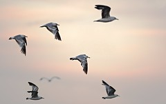 Evening Flight (imageClear) Tags: pink sunset sky nature birds wisconsin clouds evening fly flying nikon flickr wildlife seagull gulls flock flight lakemichigan lakeshore birds