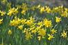 Pavilion_Gardens_0060 (Peter-Williams) Tags: uk flowers garden sussex countryside brighton crocus daffodil parkland carmelia paviliongardens