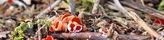 Scarlet Elf Cup (Rovers number 9) Tags: minolta sony lancashire a77 minoltaaf135mmf28 rspbleightonmoss sonya77 scarletelfcupfungus