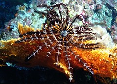 Crinoid/Featherstar (gillybooze (David)) Tags: crinoid madaleundewaterimages ©allrightsreserved scuba sea layanglayang malaysia coral water underwater animal rock reef