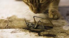 Phoenix & grasshopper (alcatian) Tags: animals cat play gato grasshopper juego saltamontes