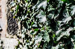 Ivy (BGDL) Tags: wall garden ivy hanging growing onthewall weeklytheme niftyfifty nikond7000 bgdl lightroom5 nikkor50mm118g flickrlounge